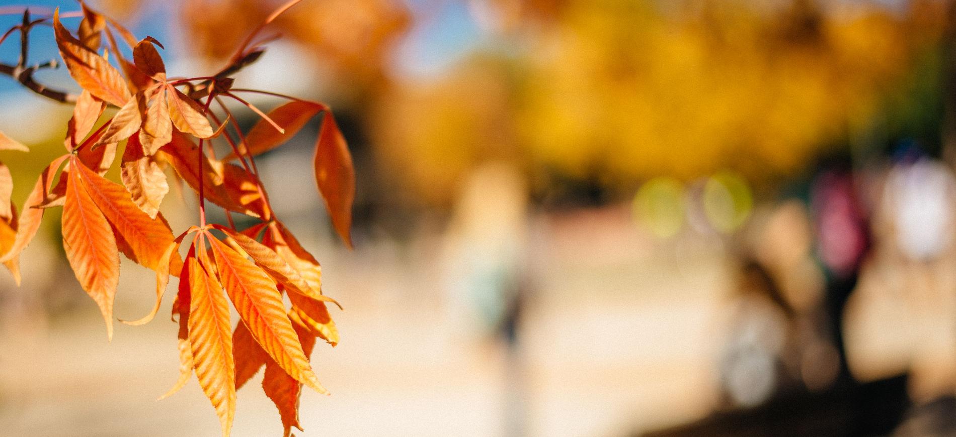 Autumn leaves on the CSU campus