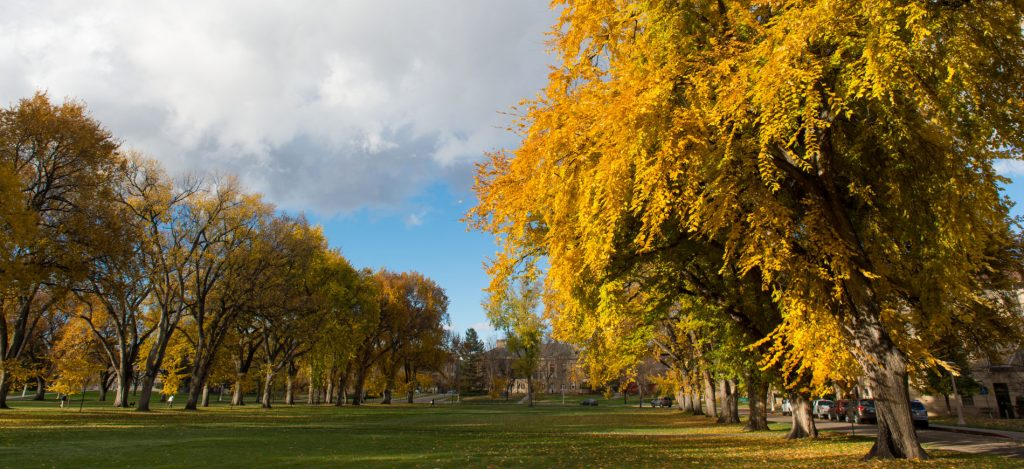 golden leaves in the trees on the Oval
